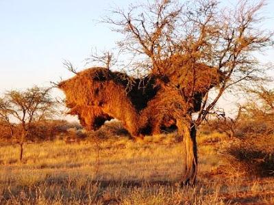 El nido más grande del Mundo (Tejedor republicano o Philetairus socius).