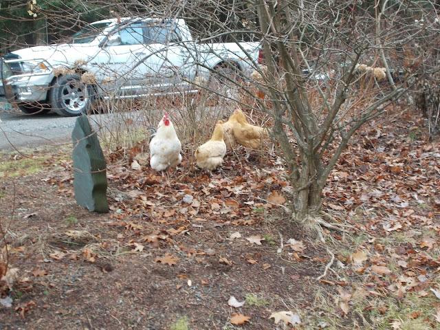 Coq poule stationnement DaCy Meadow Farm