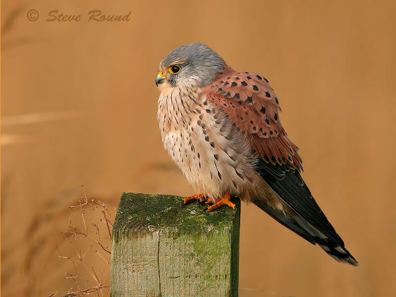 kestrel, bird