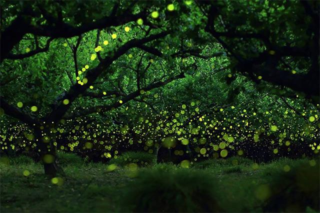 foto long exposure kunang-kunang di Hutan Nagoya City oleh Yume Cyan
