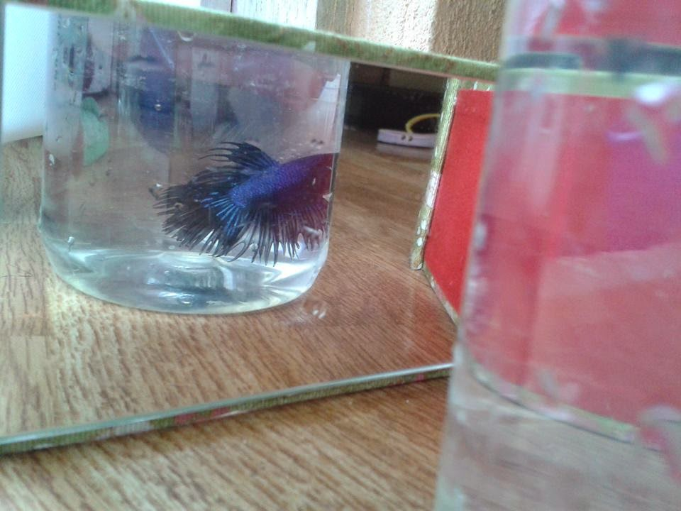 royal blue crown tail betta 300 pesos each in Cebu