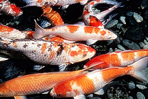 Budidaya Ikan Koi untuk Pemula