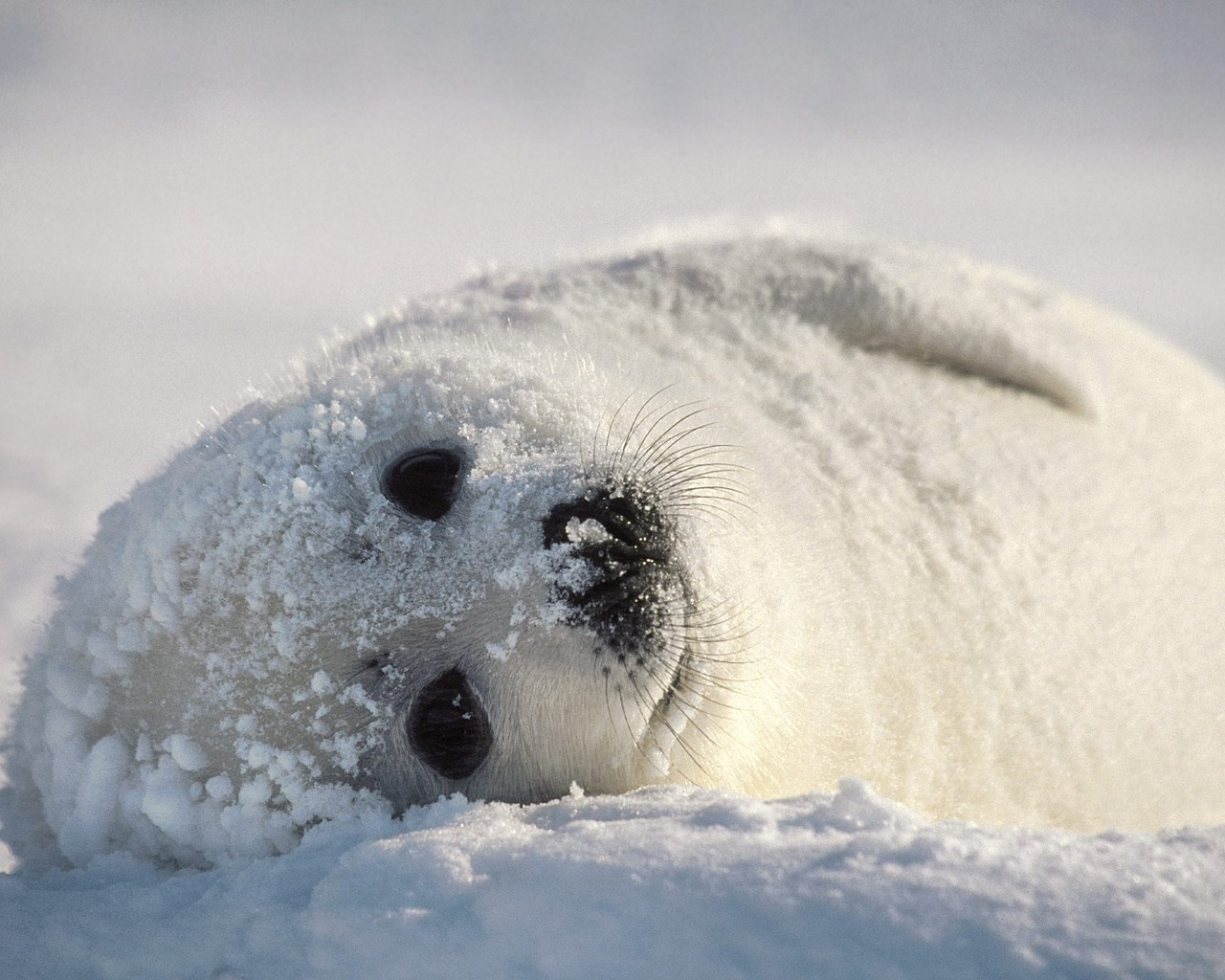 New: 60 Amazing Animals Wallpapers Baby Cute Seal Animal