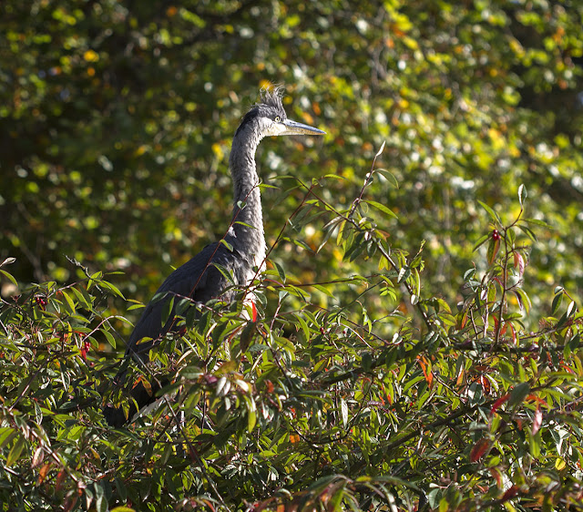 Young Grey Heron, Ardea cinerea, in Kelsey Park on 27 October 2012