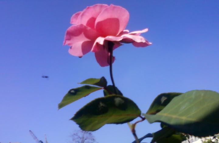 A Rosa e o Avião