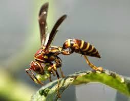 tawon paling berbahaya didunia