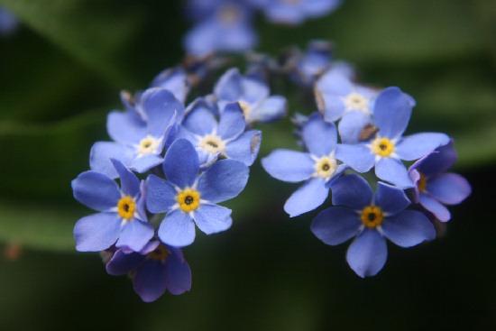 Piante e fiori myosotis nontiscordardime for Nomi di fiori bianchi