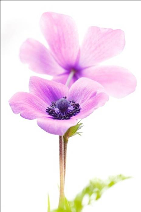 Anemonia.3