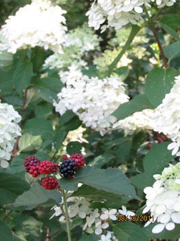 Blackberries and Snowballs