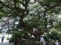 Árbol de Ceiba en parque