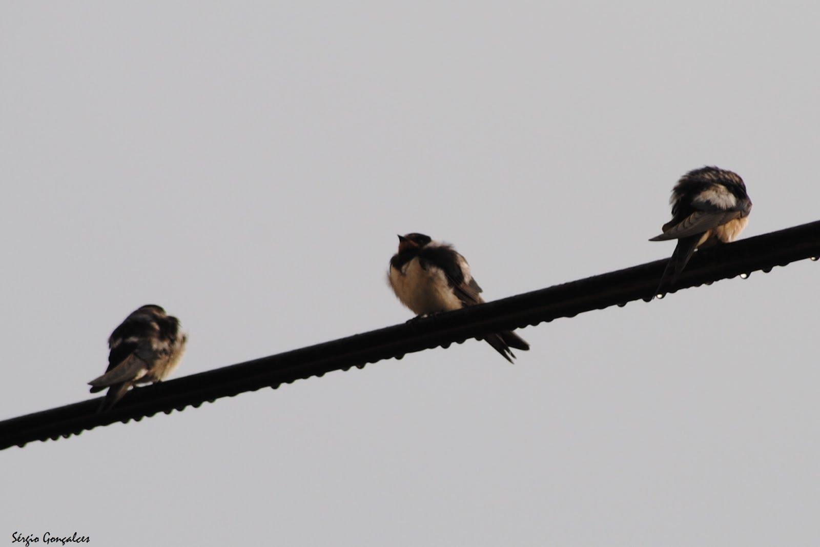 As andorinhas  (do latim hirŭndo-dĭnis; hirondina)
