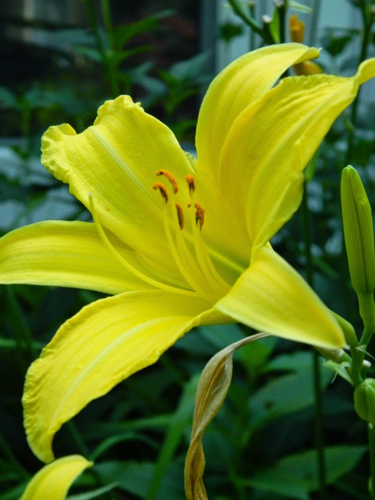 Hyperion Hemerocallis daylily by garden muses-not another Toronto gardening blog