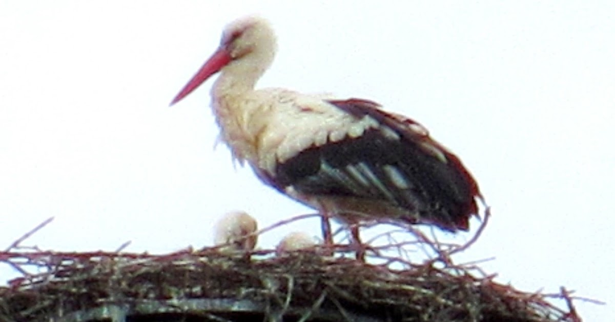 Cannundrums: White Stork
