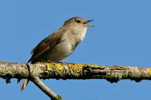 Nightingale Singing at Night Frequently Sing at Night