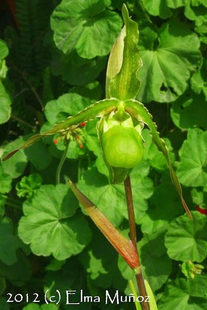 Foto de Phragmipedium boissierianum