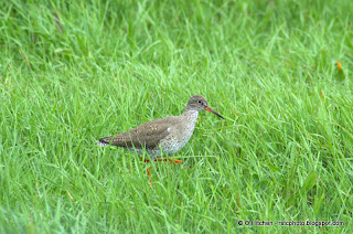Redshank at RSPB Elmley