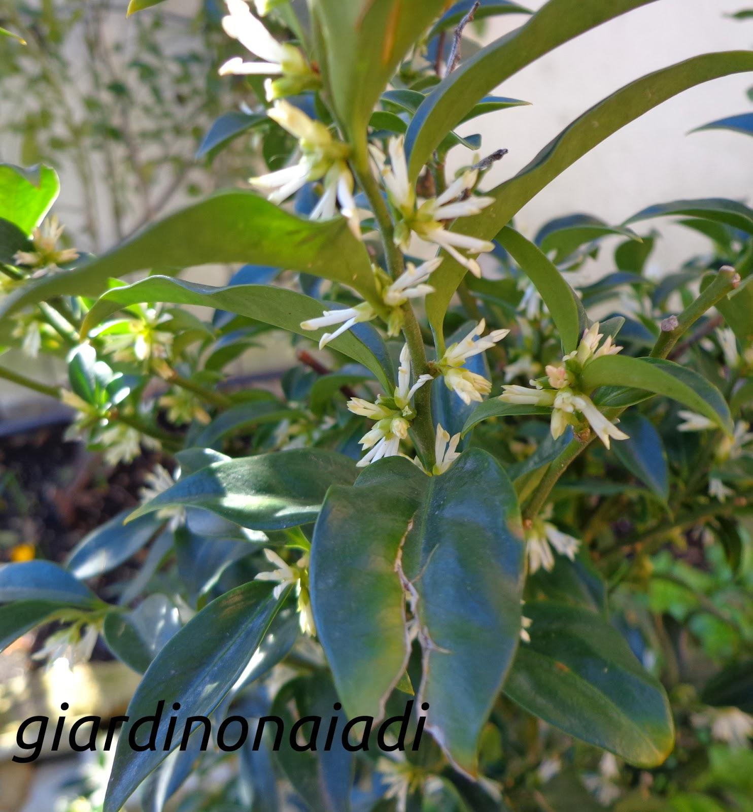 Il giardino delle naiadi fragranza invernale sarcococca for Giardino invernale