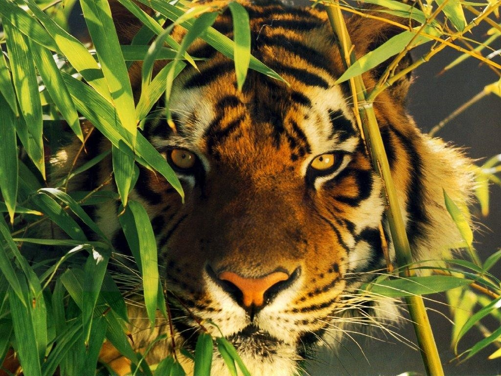 Animals of the world: Bengal tiger