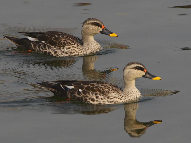 about duck in hindi Bombay duck meaning and translation in malayalam, tamil, kannada, telugu, hindi, bengali, gujarati, marati, oriya and punjabi | pachakamcom.