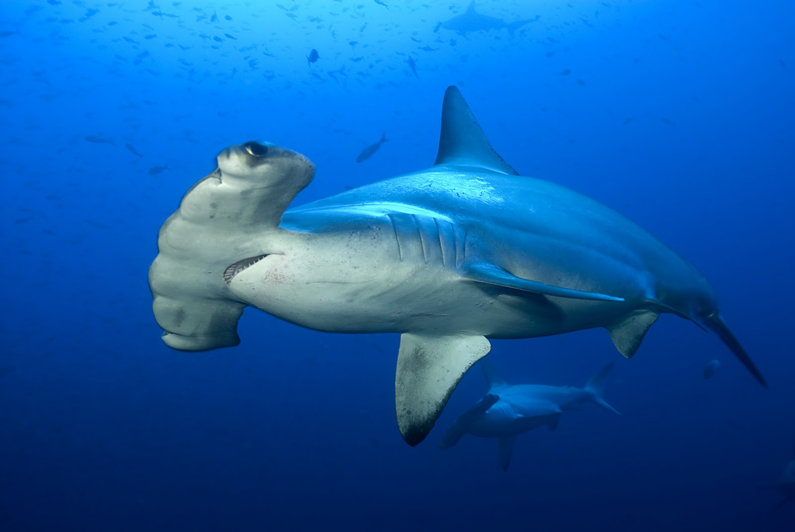 Hammerhead shark - photo#10