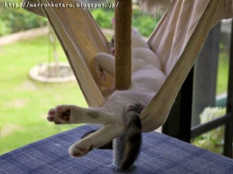 ハンモックで寝る子猫