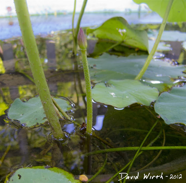 lotus flower, new plant, pond, lilly pad, stem, grow