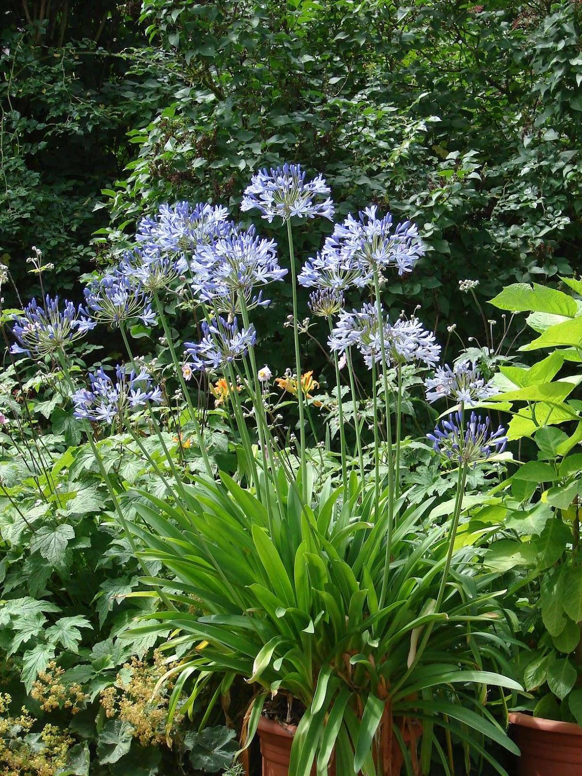 Jardin  quatre mains Bleu agapanthe