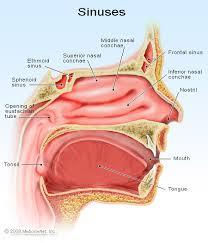 obat tradisional untuk sinusitis