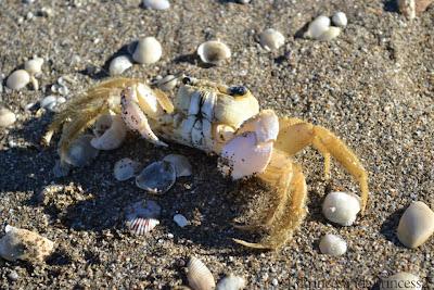 beach, crab