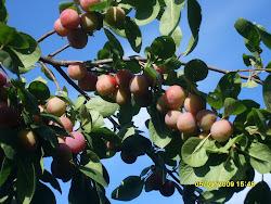 Välitämme myös eri marja- ja hedelmäpuiden taimia, sekä autamme istutuksissa