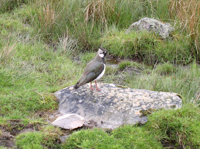 The lapwing, one of my favourite birds