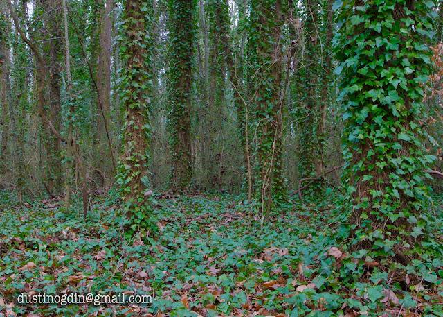 Ivy on trees - shelby park nashville
