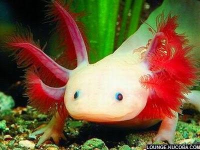 hewan hewan aneh, Axolotl Axolotl