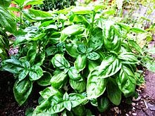 Basil-Lowering-Blood-Pressure