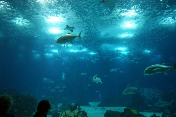 In total, the aquarium inhabited by 16,000 individual animals over four hundred and fifty species. Lisbon Oceanarium is proud to have on display a fish-moon, which can not boast of other aquariums, as well as rare spider crab and sea otters.