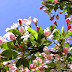 Apple Blossom Flowers Tree wallpapers photos