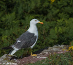 Lesser Black Back Gull