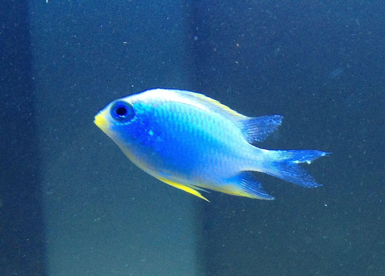Marine fish tank white spot marine ich for Pictures of white fish