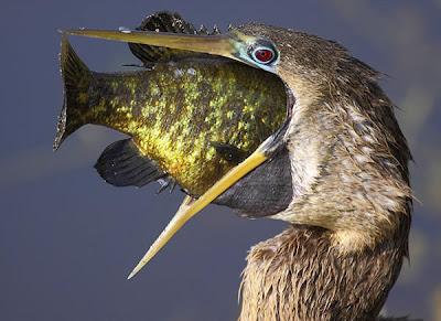 pato-aguja-americano