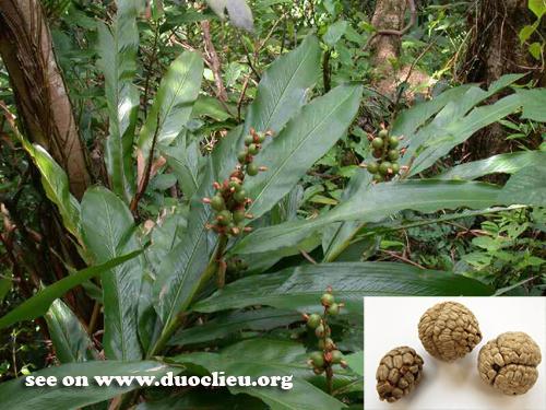 Botanical Name: Alpinia katsumadai Hayata