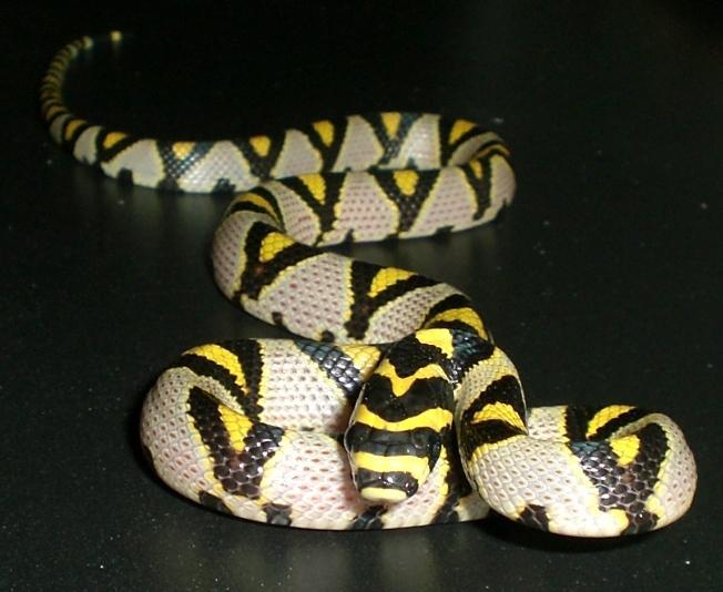 Irian Jaya Carpet Python Morphs - Carpet Vidalondon