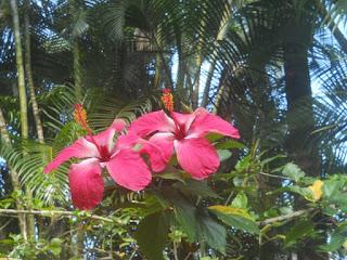 Pink Hibiscus tropical flower jungle garden botanical Kauai Hawaii
