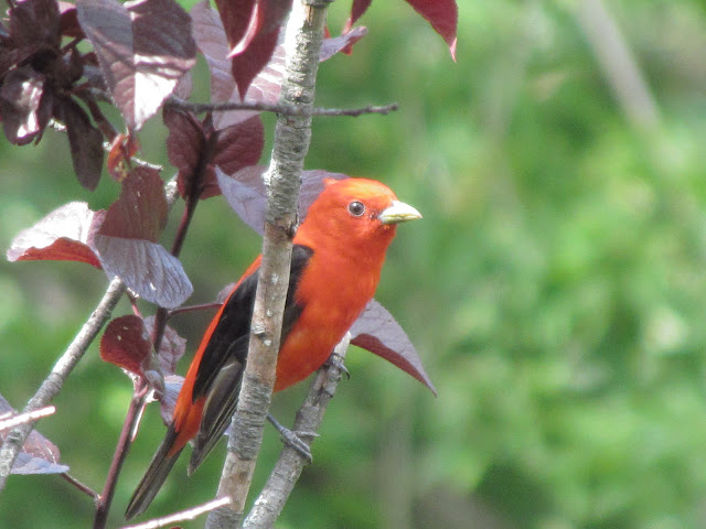 scarlet tanager in tree pensive pose