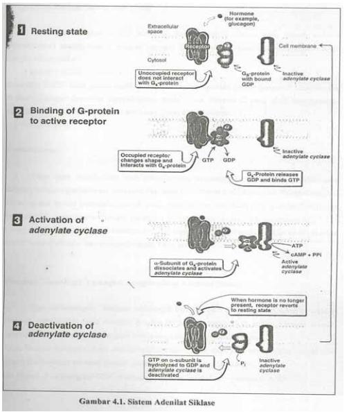 Mekanisme Kerja Hormon Secara Umum