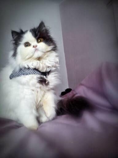 el blog de amarië: mi rutina de baño del gato persa