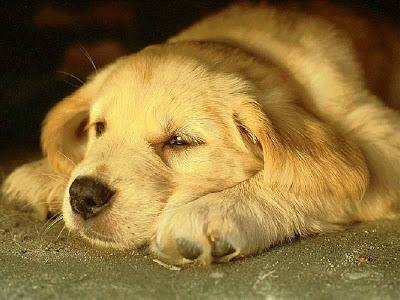 Download Wallpaper Black Adorable Dog - Dog+indian+Animal+Wallpaper  Perfect Image Reference_24387  .jpg