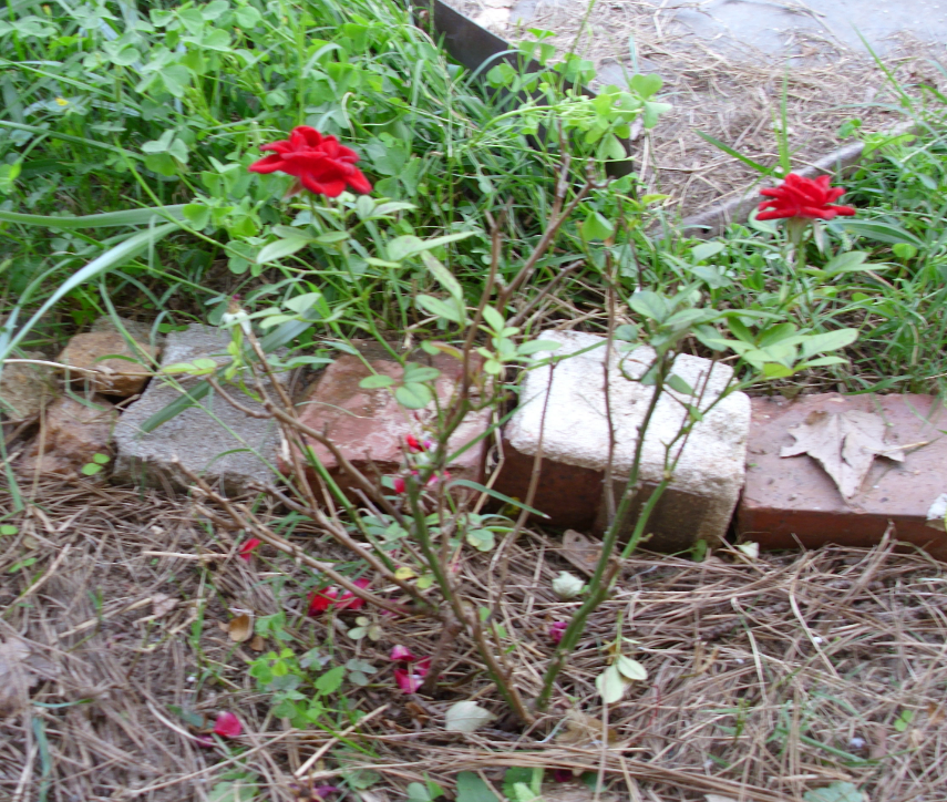 kb jpeg rose garden design how to design a garden of roses http www ...