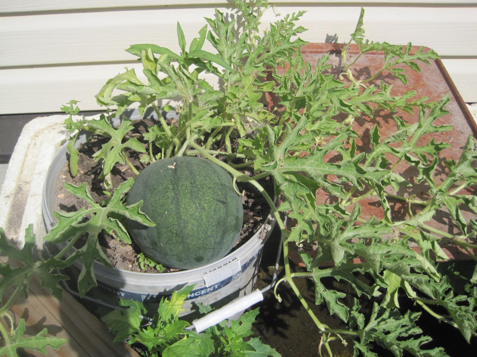 Выращивание арбузов на балконе 27