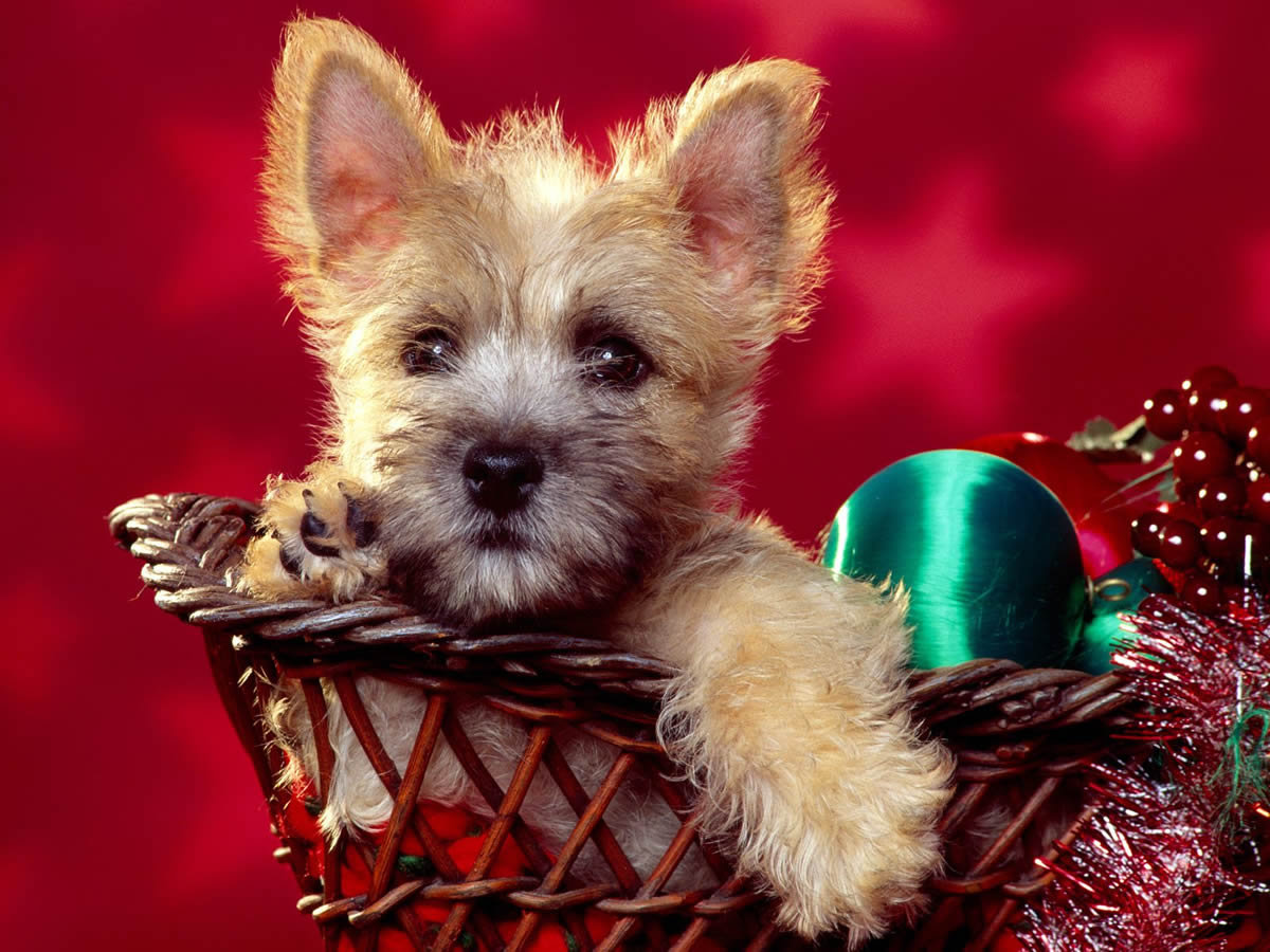 Puppy Dog Christmas wallpaper background