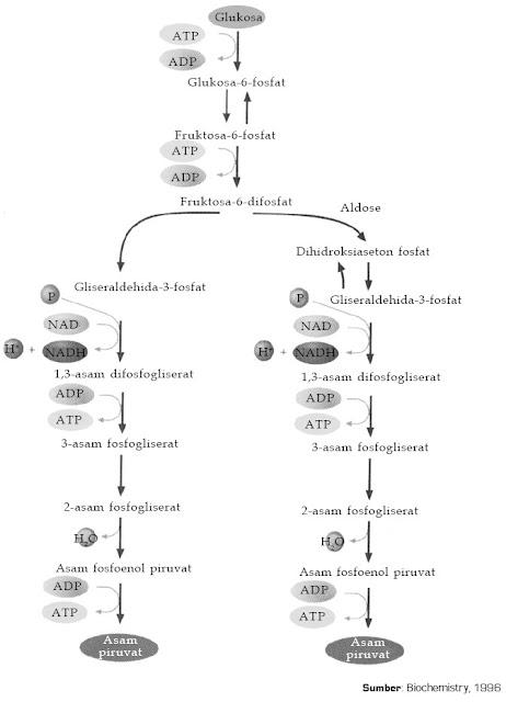 Tahapan proses glikolisis